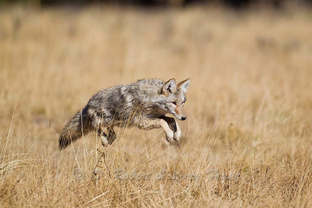 Coyote (Canis latrans)pouncing after prey