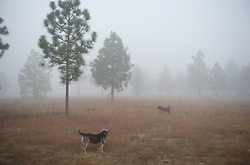 Two dogs in a field on a foggy day