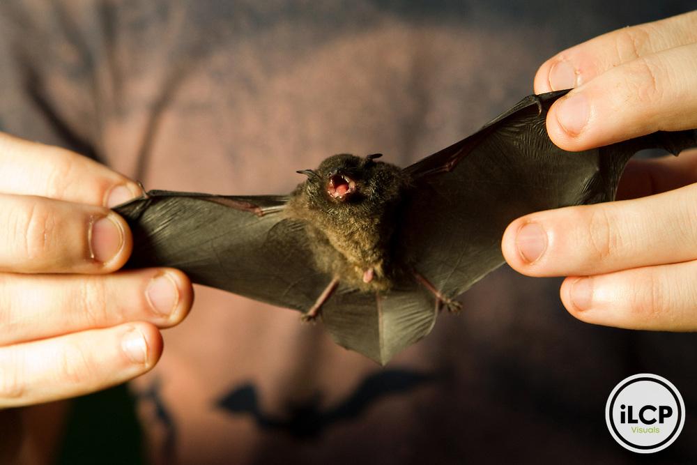 Ridley's Bat (Myotis ridleyi) biologist Ryan Shipley holding bat, Tawau Hills Park, Sabah, Borneo, Malaysia