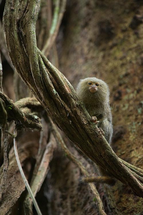 Pygmy Marmoset (Cebuella pygmaea)<br /> Yasuni National Park, Amazon Rainforest<br /> ECUADOR. South America<br /> HABITAT &amp; RANGE: New World monkey native to the rainforest canopies of western Brazil, southeastern Colombia, eastern Ecuador, eastern Peru, and northern Bolivia.<br /> Smallest true monkey in the world.