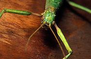 Santa Barbara, Ca <br />Captive <br />Stick Bug