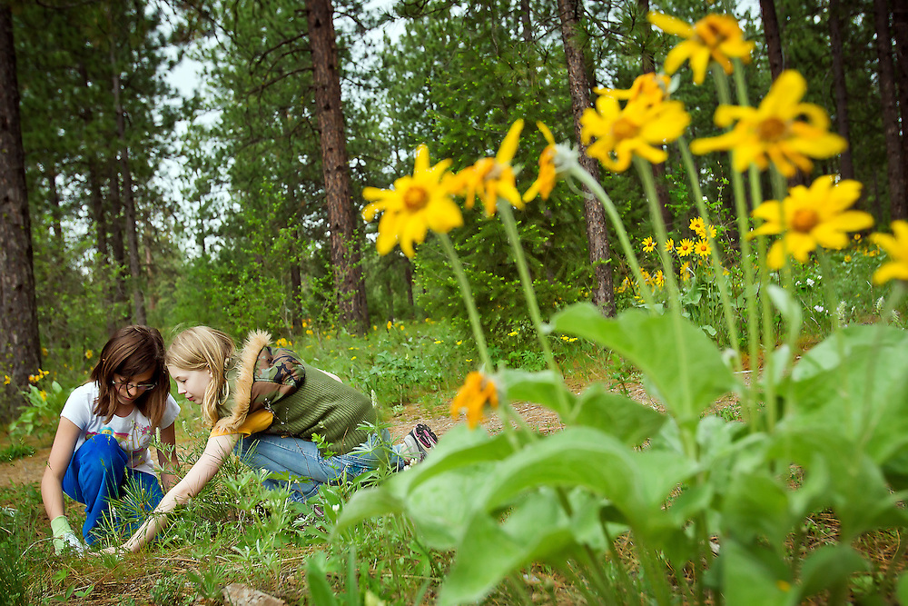 """JEROME A. POLLOS/Press..Kaitlyn McLeod, left, and Kiana Thoreson, both 10, pull weeds along a trail in Tuesday at Kiwanis Park in Post Falls. About 100 fifth-grade students from Ponderosa Elementary took part in the """"Take Pride in America"""" program that encourages and recognizes efforts that promote taking pride by taking care of public lands."""