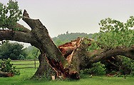 This historic five-hundred-fifteen-year-old sixty-foot white oak tree, which was possibly the oldest tree east of the Mississippi River, is shown Wednesday, June 2, 1999, in Solebury, Pa. The tree split in two on Memorial Day, a victim of old age. Josephine Leuzzi, owner of the tree, agreed it was like losing a member of her own family. In the (Photo by William Thomas Cain)