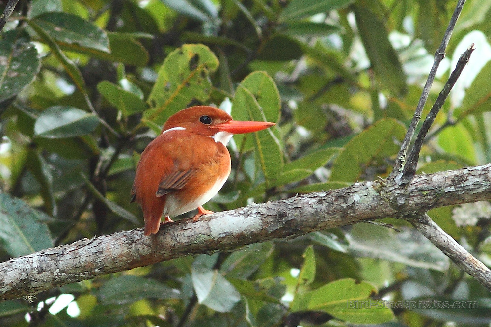 Madagascar Pygmy Kingfisher, Corythornis madagascariensis, Madagascar, by Markus Lilje