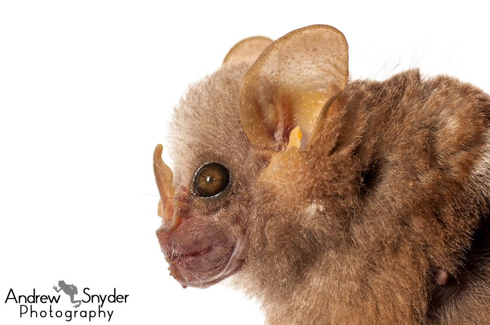 Little white-shouldered bat (Ametrida centurio)