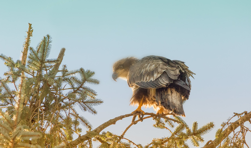 A young eagle.