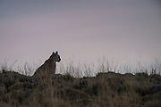 Puma (Felis concolor patagonica) silhouette<br /> Torres del Paine National Park<br /> Patagonia<br /> Magellanic region of Southern Chile