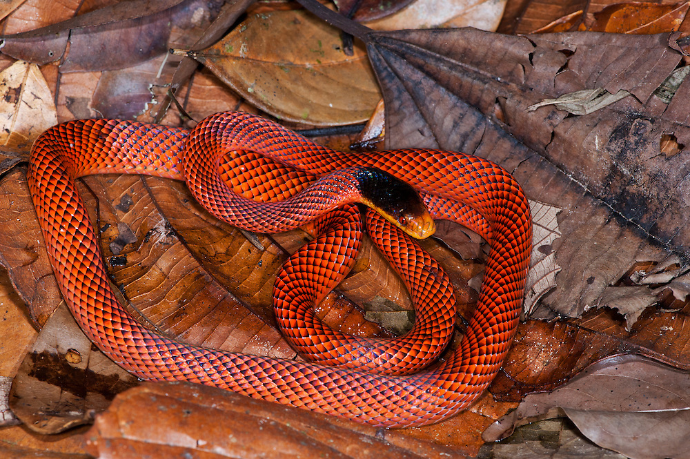 Yellow-nosed calico snake or False Coral Snake (Oxyrhopus formosus)<br /> Yasuni National Park, Amazon Rainforest<br /> ECUADOR. South America<br /> HABITAT & RANGE: Tropical forests of Colombia, Venezuela, Ecuador, Peru, Guyana, Surinam, French Guiana, Brazil, Argentina & Bolivia