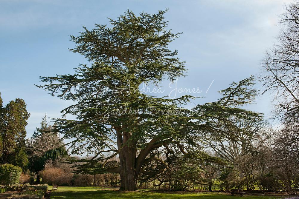 Cedrus libani (Cedar of Lebanon) tree in Rozelle Park, Ayrshire, Scotland