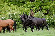 Military horses being exercised, Berkshire, UK