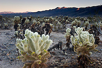 Cholla Cactus Garden Sunset, Joshua Tree National Park, California