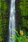 Akaka Falls and kahili ginger, Akaka Falls State Park, Hamakua Coast, The Big Island, Hawaii USA