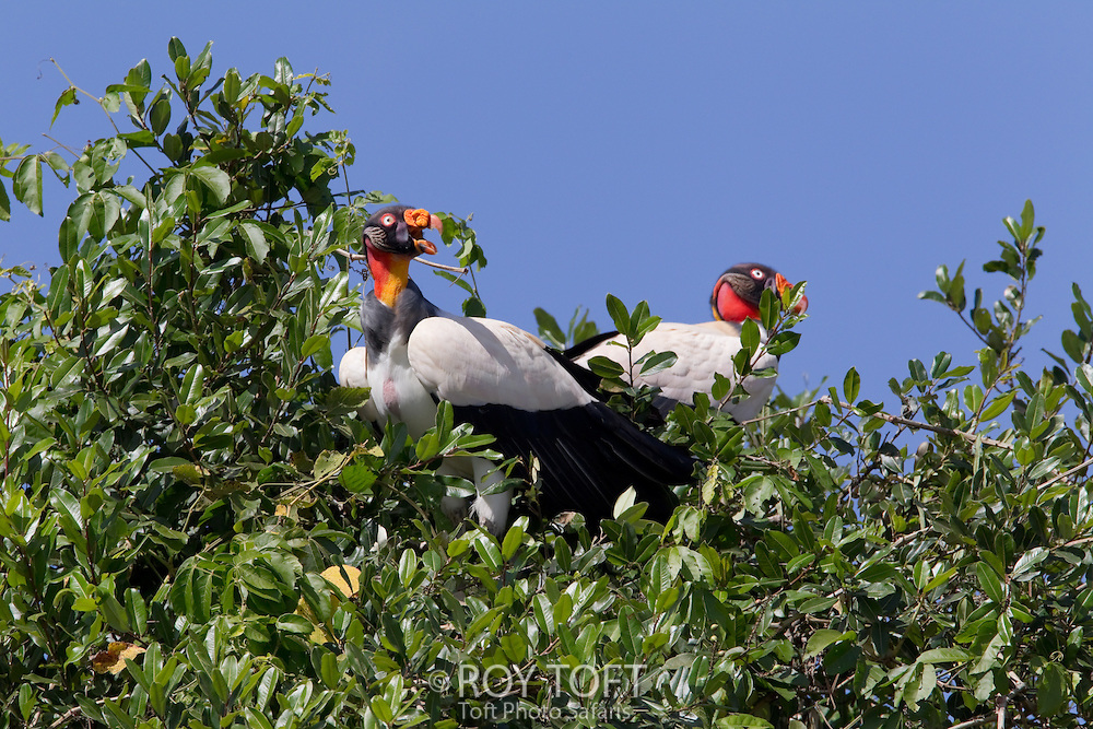 Pair of King vultures perched in a tree, Pantanal, Brazil