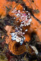 A pair of harlequin shrimps eating a starfish, Seraya, Bali, Indonesia. Seraya is located on Bali's NE coast and has become very popular with divers and photographers searching for unusual species.  The signature site, 'Seraya Secrets' has a barren sand floor with small patches of sponge and other encrusting life, and rocks in the shallows. Bali is a very popular holiday destination for divers and offers a wide variety of different types of diving, from reefs and wrecks to mucks sites such as Puri Jati and Gilimanuk.