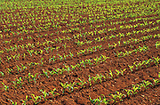 Corn seedling emerging from iron-rich, red soil<br /> New London<br /> Prince Edward Island<br /> Canada