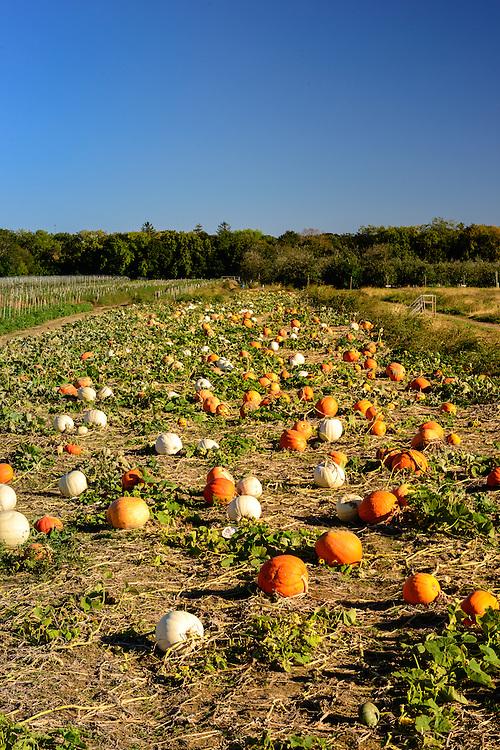 Pumpkin Field Wickham's Fruit Farm, Cutchogue, NY