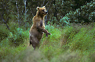 USA, Vereinigte Staaten Von Amerika: Alaskabraunbär (Ursus arctos middendorffi), nervöses Muttertier steht aufrecht im hohen Gras und hält Ausschau nach ihren Jungen, Kodiak National Wildlife Refuge, Kodiak Island, Alaska | USA, United States Of America: Brown bear (Ursus arctos middendorffi), nervous mother standing up on her hind legs in tall grass, looking for her two young, Kodiak National Wildlife Refuge, Kodiak Island, Alaska |