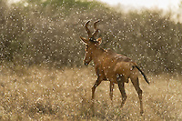 Red Hartebeest bull walking away in the rain, Mokala National Park, Northern Cape, South Africa