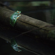 Black-webbed Tree Frog (Rhacophorus kio) in Kaeng Krachan national park, Thailand