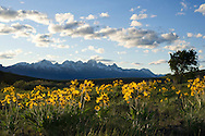 PRICE CHAMBERS / NEWS&amp;GUIDE<br /> Arrowleaf Balsamroot is in full bloom near Curtis Canyon as their bright yellow flowers color the landscape against the Tetons.