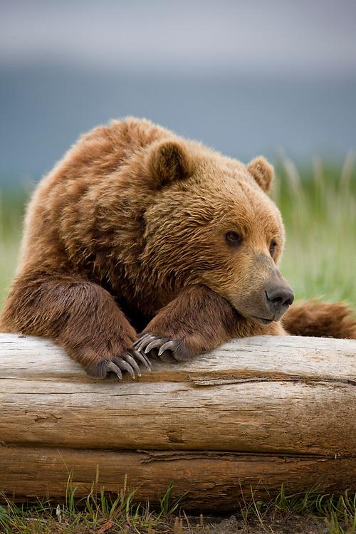 USA, Alaska, Katmai National Park, Brown Bear (Ursus arctos) resting on beached log in meadow along Hallo Bay