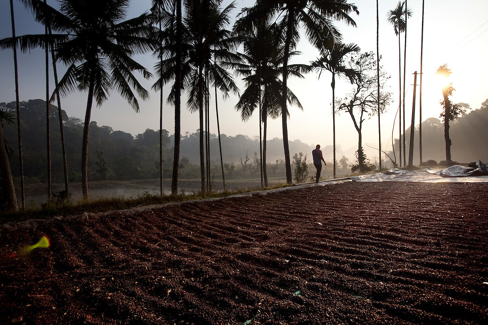 "A farmer walks past dried coffee berries left out for ""Dry"" processing in Coorg, India,  on Sunday January 31, 2010. Photographer: Prashanth Vishwanathan/Bloomberg News"