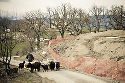 Corleto Perticara (PZ) 17.02.2009, Italy - Tempa Rossa - Speranze e realtà del giacimento Total in Basilicata. In località Petrino, una delle zone interessate dal cantiere, abitavano cinque famiglie, tra cui quella di Zio Antonio, un anziano contadino.  Prima che arrivasse Total a chiedergli i terreni, aveva all'incirca 500 pecore. Ha dovuto cedere all'offerta di Total per l'acquisto di 11 ettari di terreni a circa 6 euro al mq per non incorrere nell'esproprio coatto con il quale avrebbe avuto pagati i terreni a circa 2,50 euro al mq. L'area pascolo si è ridotta ed ha dovuto togliere gli animali rimanendo con circa 25 pecore. NELLA FOTO: Zio Antonio conduce il suo gregge di pecore.