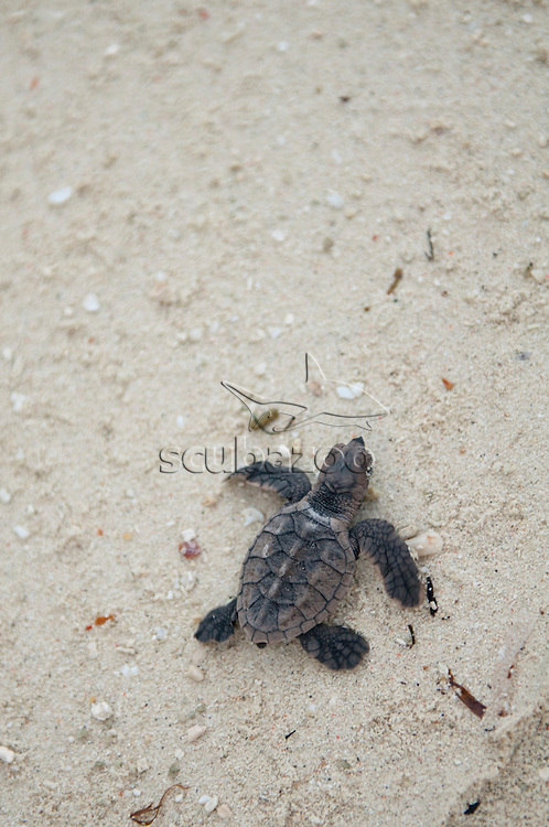 Green sea turtle, Chelonia mydas, Hatchlings being released, Mataking Island, Sabah, Borneo, Malaysia