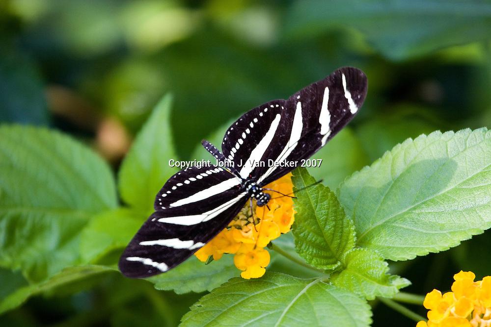 Zebra Longwing Butterfly with wings spread.