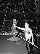 08.09.1984<br /> 09.08.1984.<br /> 8th September 1984<br /> Chipperfield's circus performed before packed houses in Mullingar, Co Westmeath.<br /> <br /> Picture of Mr Richard Chipperfield, cracking the whip, as he leads his tiger through the routine. The Image shows a tiger able to balance on a giant 'Disco ball'.