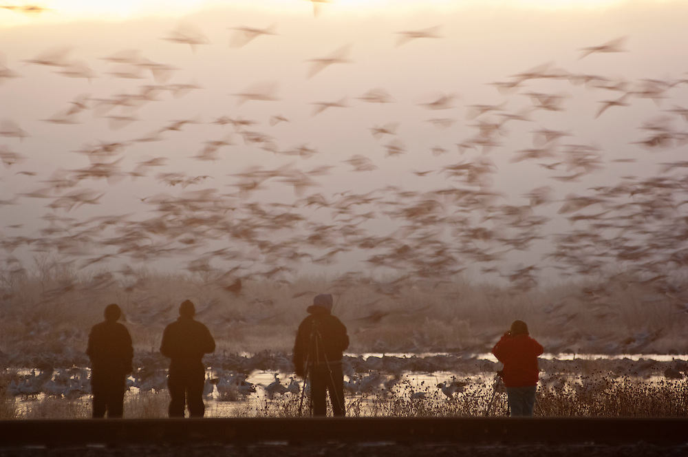 Photographers and Snow Geese, Chen caerulescens, Bosque del Apache NWR, New Mexico