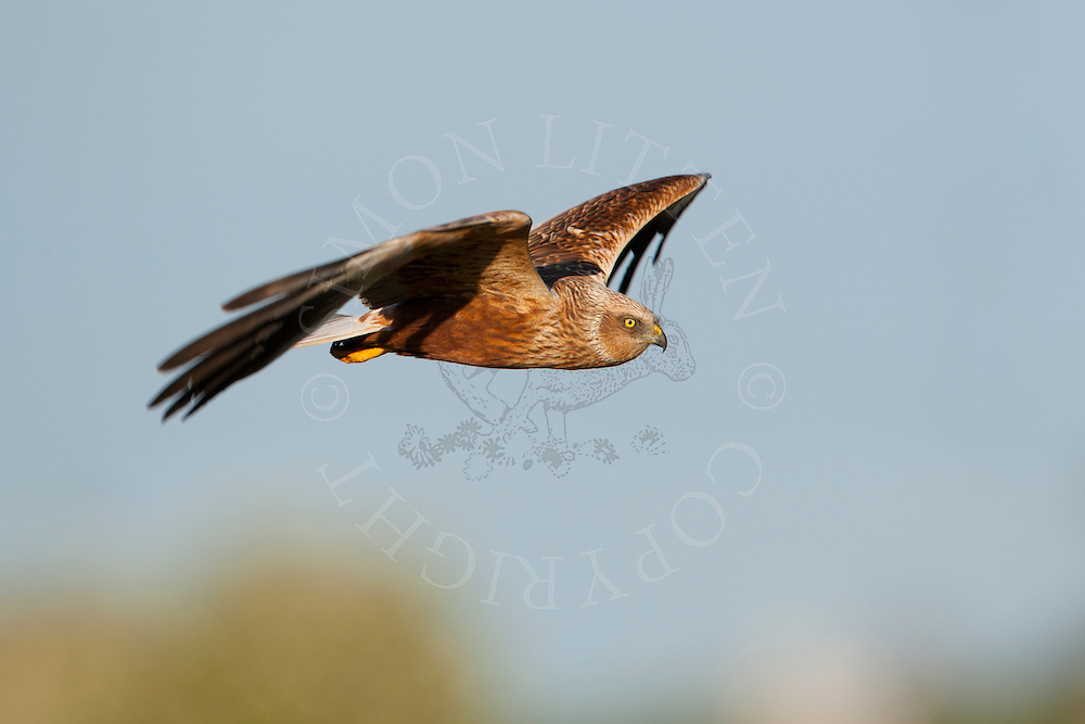 Western Marsh Harrier (Circus aeruginosus) adult male in flight, hunting, Norfolk Broads N.P. UK.