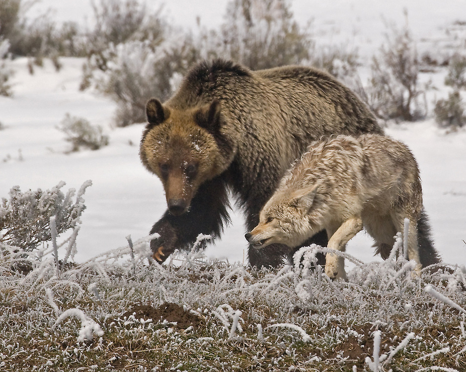 The coyote will not give way but will also not submit to the bear's playful advances.
