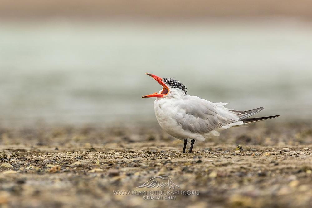 Caspian Tern yawning, Waiheke Island, New Zealand