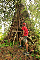 WA13975-00...WASHINGTON - Hiker examing the roots and tree growing on the still living trunk of the former largest recorded Douglas Fir located in the Queets Rain Forest off the Queets River Trail in Olympic National Park.