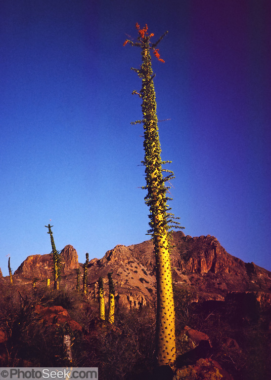 """Baja California, MEXICO: The boojum or cirio (Fouquieria columnaris, synonym Idria columnaris) is a bizarre-looking tree in the family Fouquieriaceae, whose other members include the Ocotillos. It is nearly endemic to the Baja California peninsula, with only a small population in the Sierra Bacha of Sonora. A fifty-year-old specimen might be a foot thick at its base, and less than five feet tall. It's one of the slowest growing plants in the world, at the rate of a foot every ten years, which means a mature fifty-footer may be more than 500 years old. An Arizona botanist, in 1922, applied the name boojum, after the imaginary """"boojum"""" that inhabited """"distant shores"""" in Lewis Carrol's poem Hunting of the Snark. The early Spaniards called it cirio, or candle, probably because of its resemblance to the handmade tapers that decorated the altars in the Jesuit mission churches. The flowers bloom in summer and autumn; they occur in short racemes, and are creamy yellow with a honey scent. Published in Americas Magazine, """"Bizarre Blooms of Baja"""" article, April 2006 (official magazine of the Organization of American States, OAS)."""