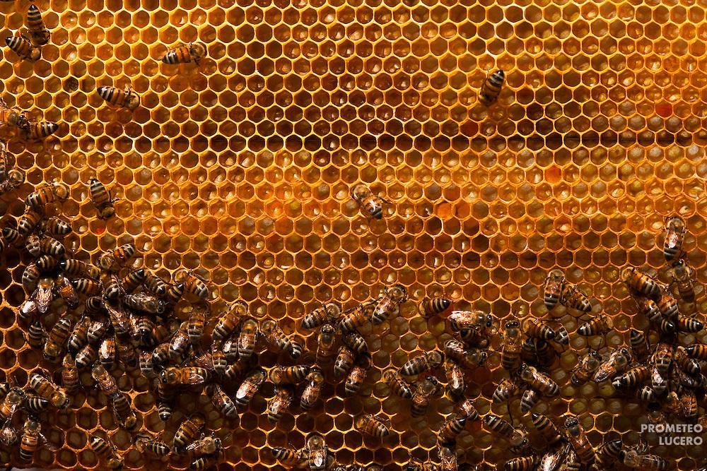 Abejas (Apis Mellifera) trabajan en un nido en Hopelchen, Campeche. Apicultores indígenas mayas temen que las abejas puedan transportar polen transgénico contaminado de un lugar a otro.  (FOTO: Prometeo Lucero)