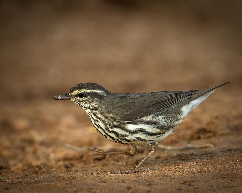 Parkesia noveboracensis, Texas