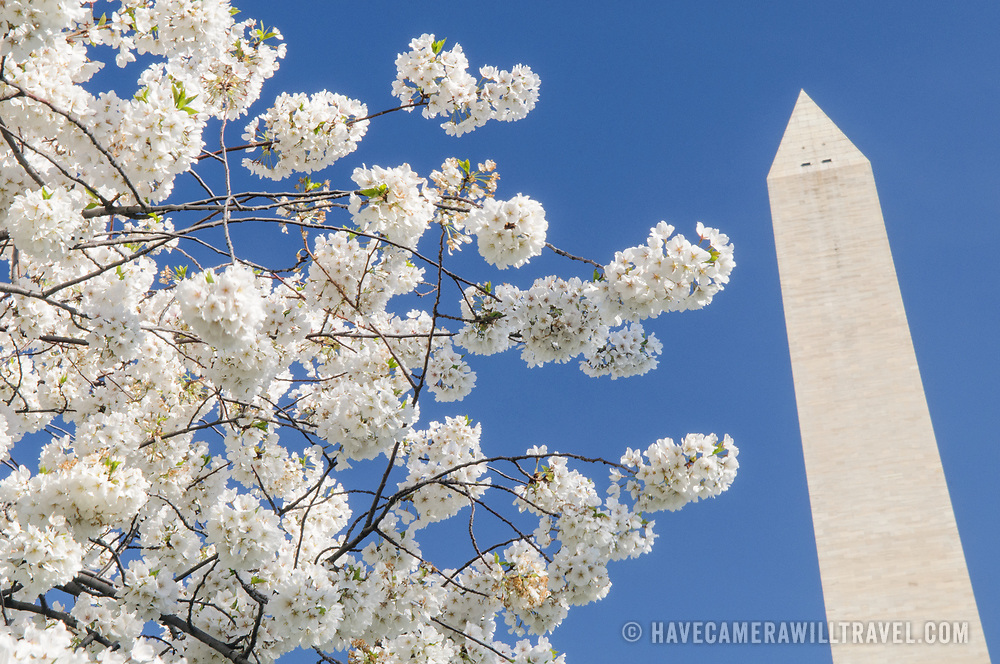 The Washington Monument on the National Mall is framed by some of the 3700 cherry blossom trees blooming in an annual event of Washington's early spring that brings hundreds of thousands of tourists into the city.