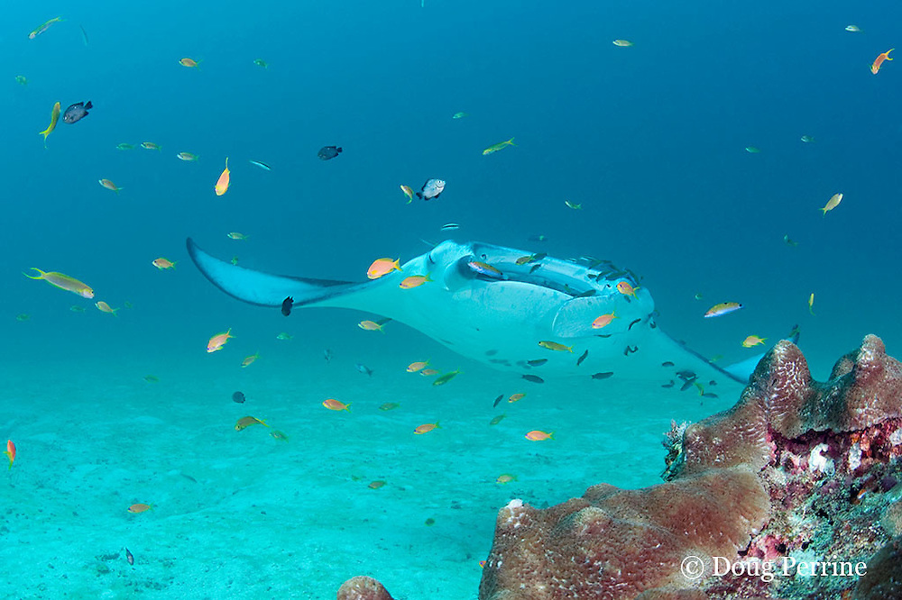 reef manta ray, Manta alfredi (formerly Manta birostris ), being cleaned by moon wrasses, Thalassoma lunare, initial phase two-tone wrasses, Thalassoma amblycephalum, and blue-streak cleaner wrasses, Labroides dimidiatus; orange basslets (anthias) do not participate in cleaning; Sunshine Thila, Lankan, North Male Atoll, Maldives ( Indian Ocean )