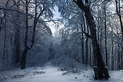 Old beech forest covered with snow