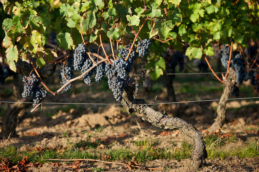 Grapes on ancient vine at Chateau Pavie in St Emilion in the Bordeaux wine region of France