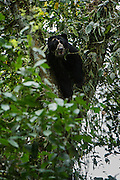 Spectacled (Andean) Bear (Tremarctos ornatus) WILD<br /> Maquipucuna forest<br /> Cloud forest<br /> West of Quito<br /> ECUADOR<br /> South America