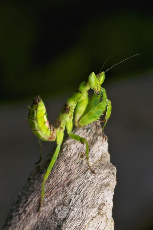 Juvenile of Creobroter sp. Mantis