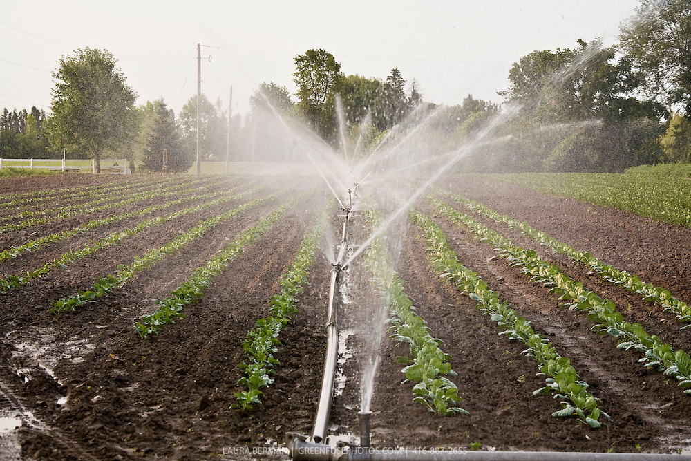 Irrigation at Thorpe's Organic farm