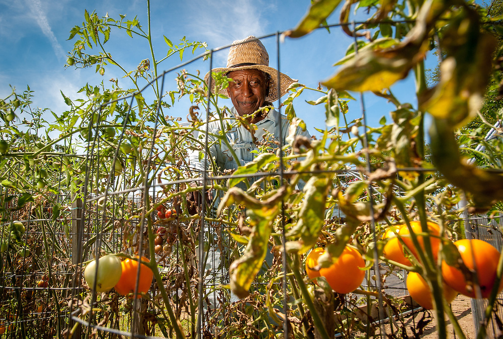 An African American farmer picks through some tomatoes in an urban vegetable garden in Baltimore city, Maryland.