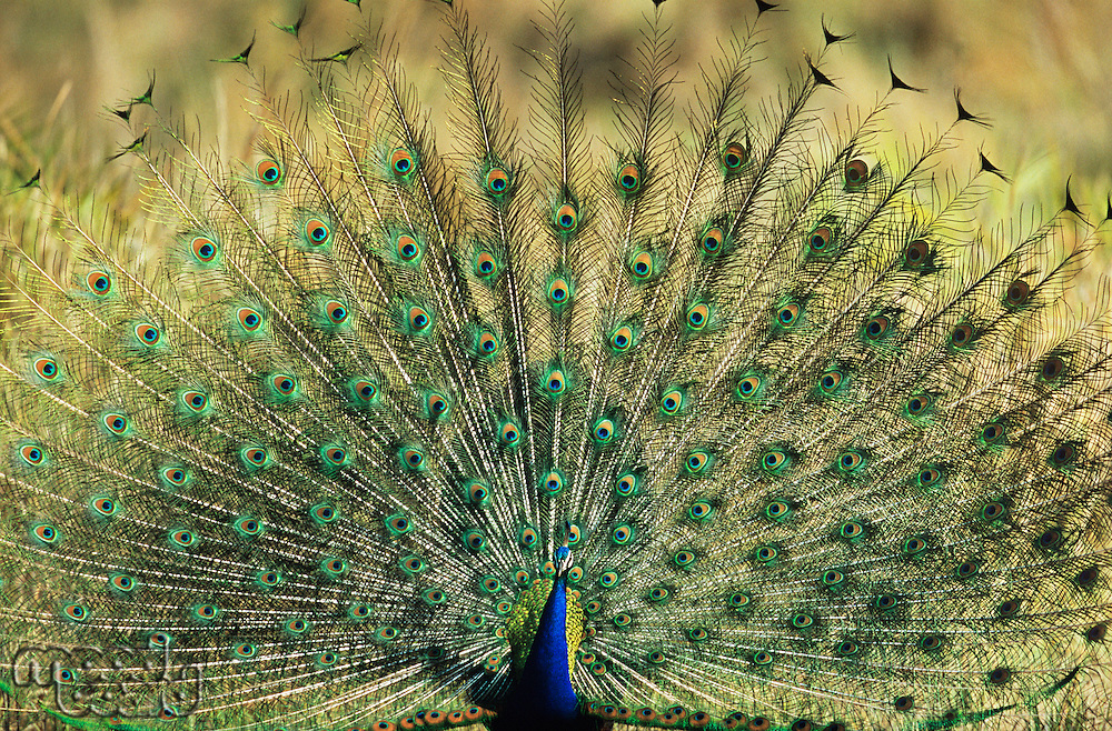 Peacock displaying feathers
