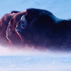 Three bull muskox head towards the setting sun in a blizzard. Northwestern Alaska
