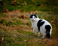 Black and White Cat. Image taken with a Fuji X-H1 camera and 200 mm f/2 lens with 1.4x teleconverter