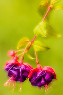 Double exposure of closeup of Fuschia in garden in Eagle River in Southcentral Alaska. Summer. Afternon.